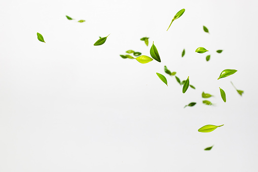 Falling random green leaves on white background. Levitation concept. Top view, Flat lay, Summer harvest concept