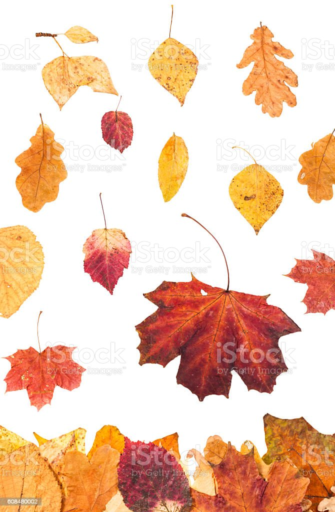 falling red and yellow leaves isolated stock photo