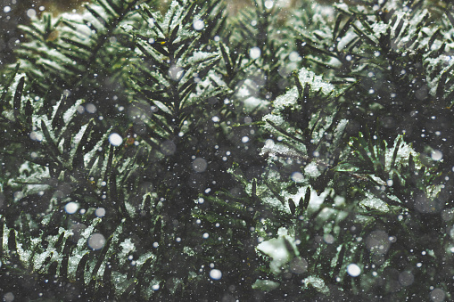 Falling Snow Cold Winter Christmas Snowflakes Texture Over Evergreen Pine Tree Branches Background