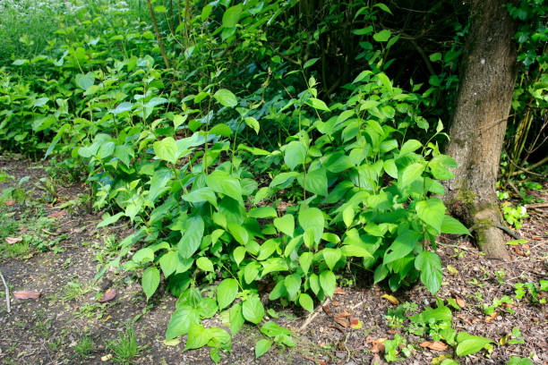fallopia japonica, commonly known as asian or japanese knotweed. - knotweed stock pictures, royalty-free photos & images