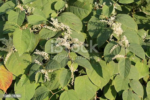 Fallopia japonica or Japanese knotweed. Branch with green leaves and white flowers