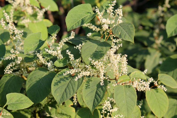 fallopia japonica or japanese knotweed. branch with green leaves and white flowers - japanese knotweed stock pictures, royalty-free photos & images