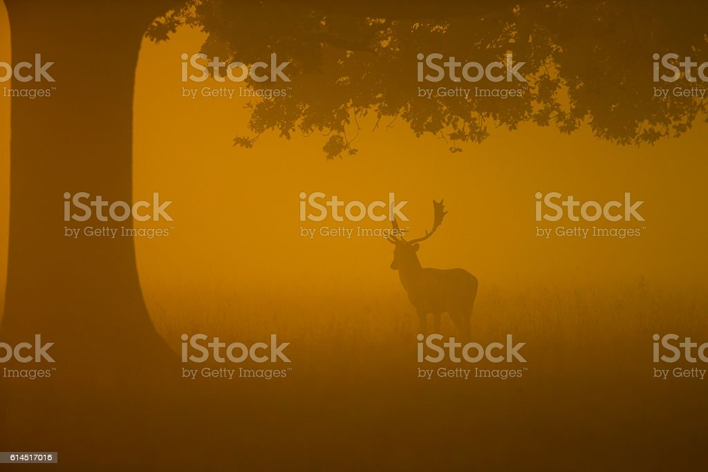 Fallow buck in woodland on a foggy morning stock photo