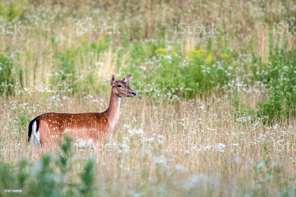 fallow deer at night isolated looking at you stock photo