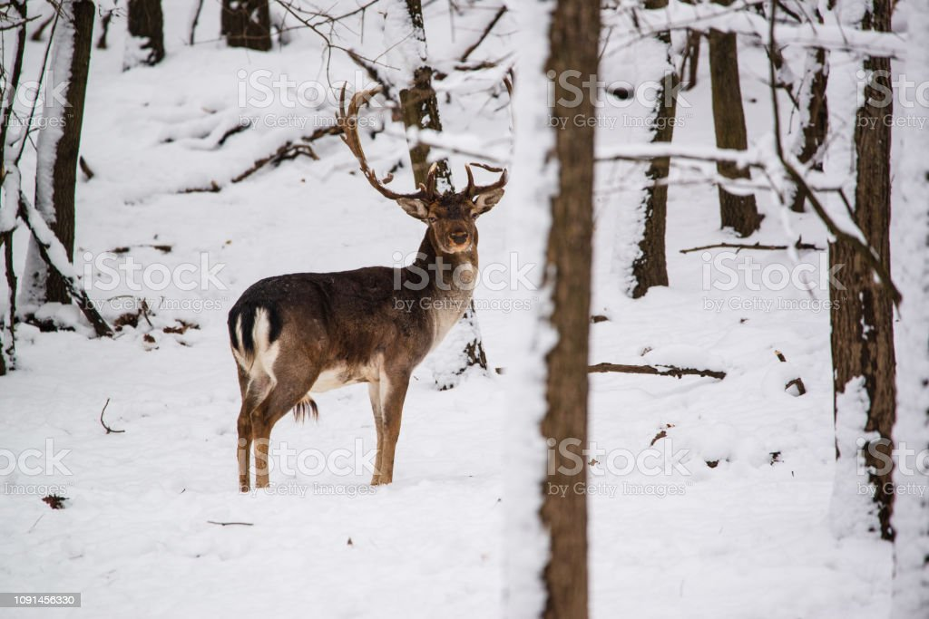 Damwild Buck im Winterwald – Foto