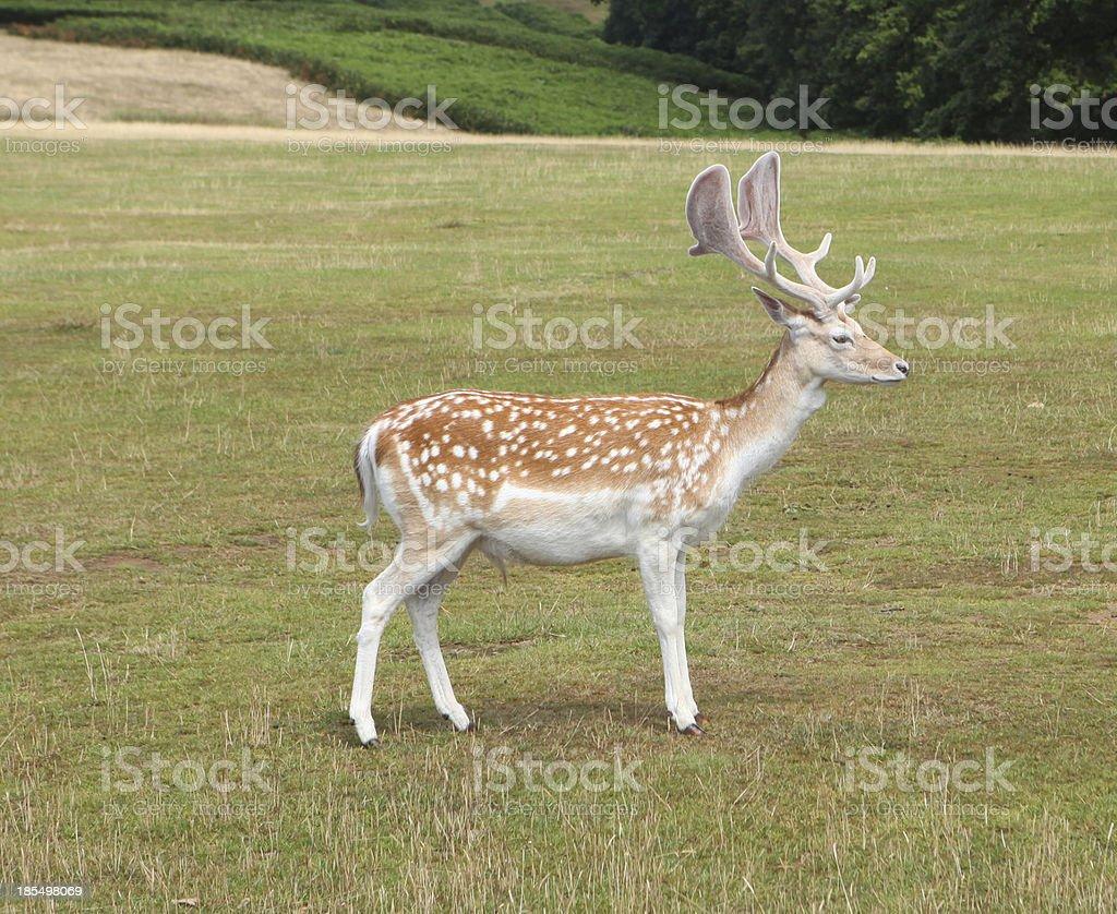 Fallow Deer Buck Standing Sideways In Parkland Stock Photo & More ...