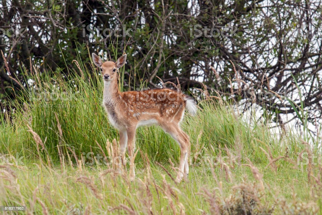 Fallow deer calf stock photo
