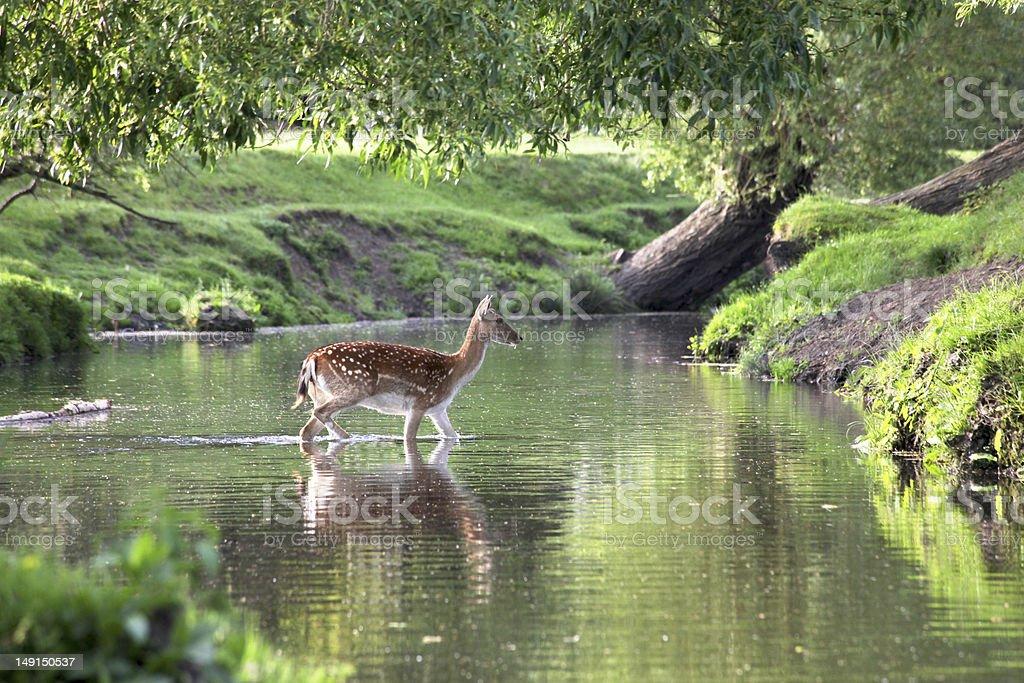 Fallow Deer Crossing a River stock photo