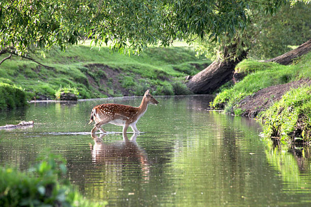 fallow deer crossing a river - richmond park stock photos and pictures