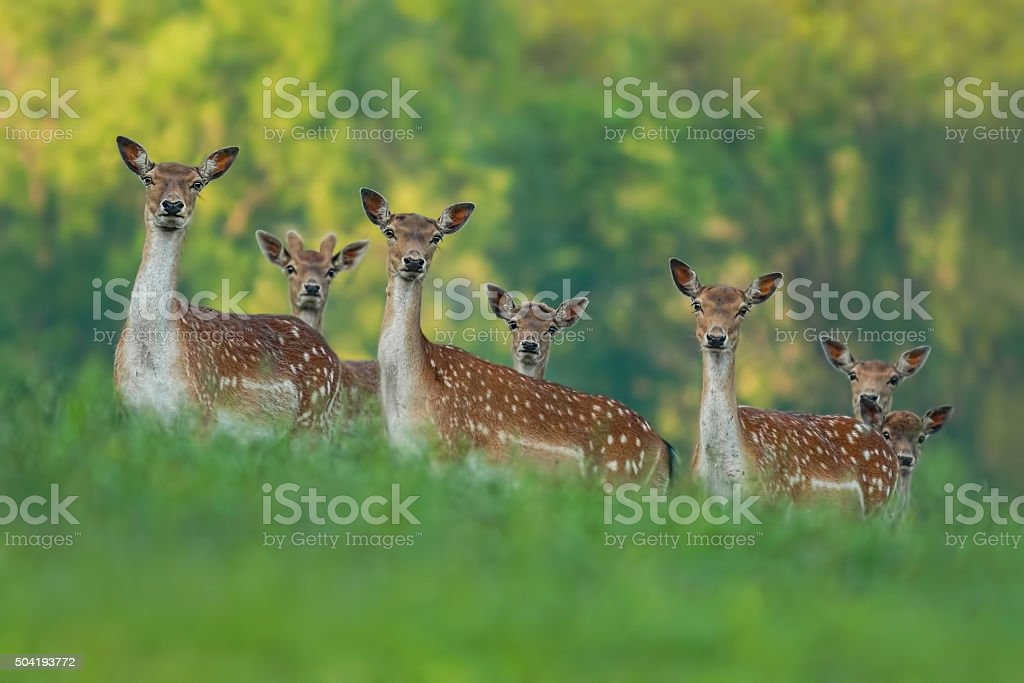 fallow deer family - doe mothers and fawn babies stock photo
