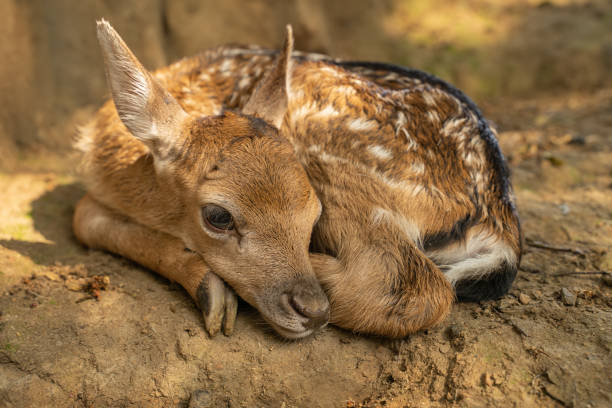 Fallow deer fawn curled up from close up view stock photo