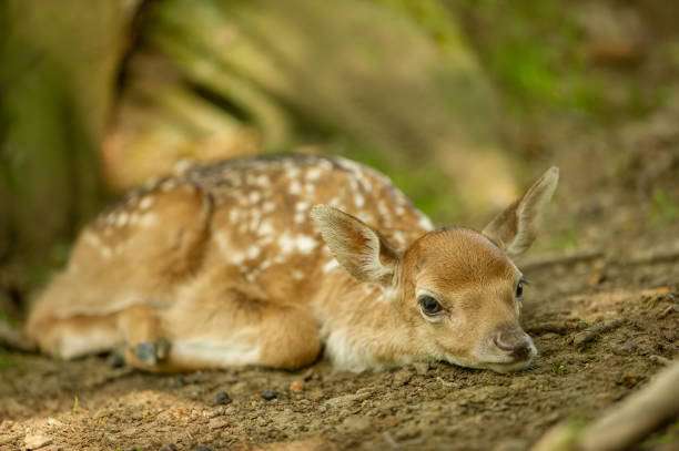 Fallow deer fawn lying on the ground stock photo