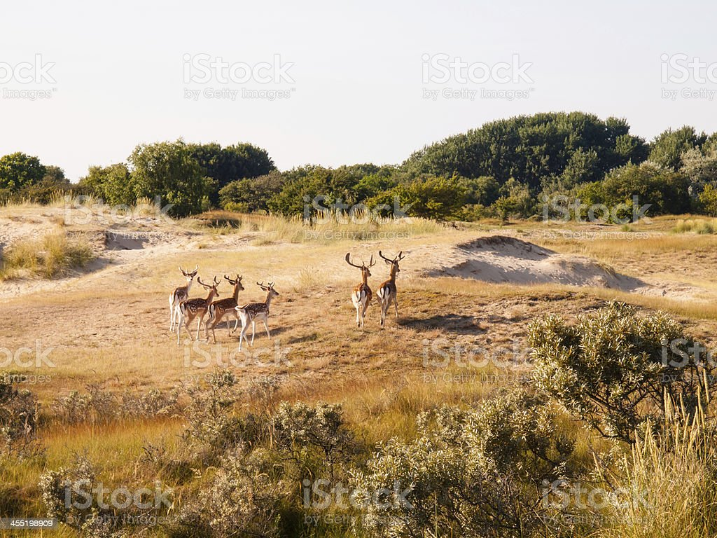 fallow deer in dunes stock photo