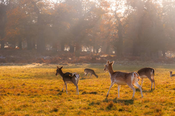 fallow deer in richmond park - richmond park stock photos and pictures