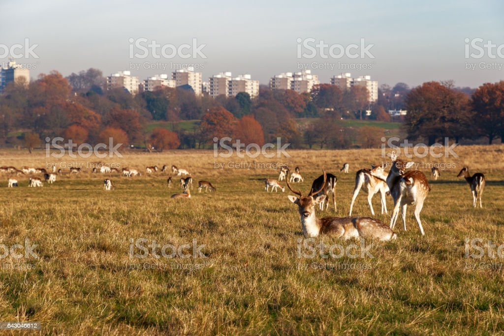Fallow deer in Richmond Park stock photo