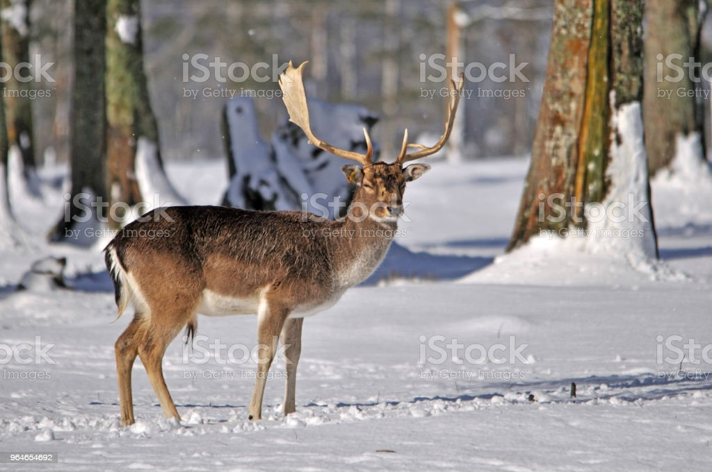 fallow deer in snow royalty-free stock photo