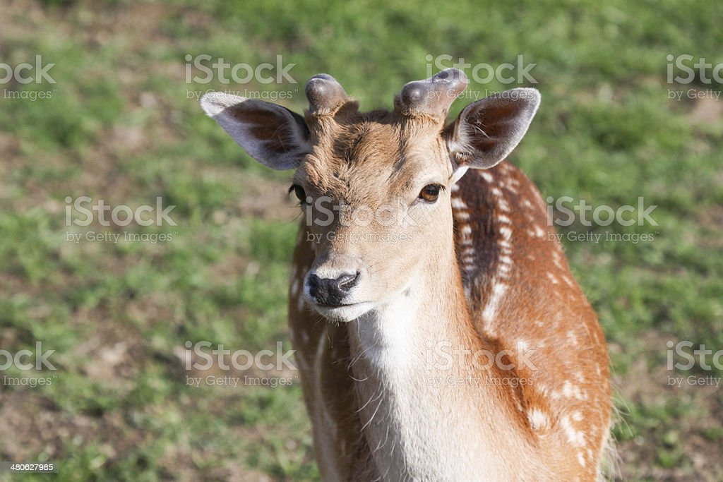 Fallow Deer in Surrey, England royalty-free stock photo