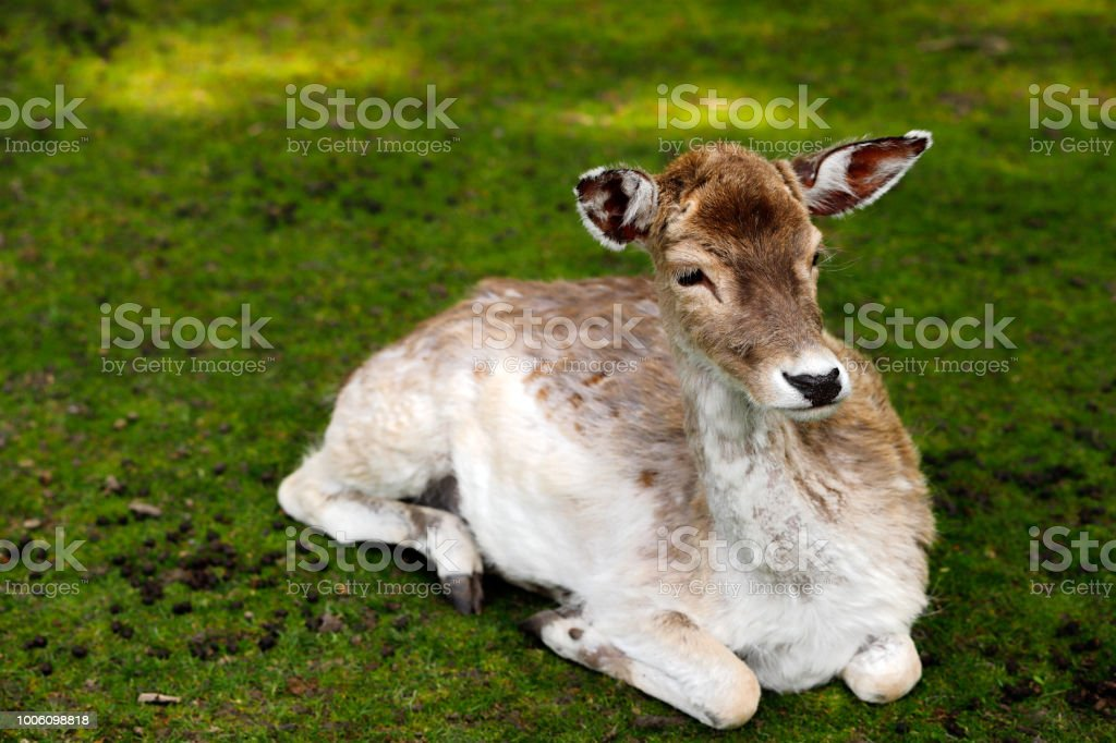 Fallow Deer On The Meadow Stock Photo & More Pictures of Animal | iStock