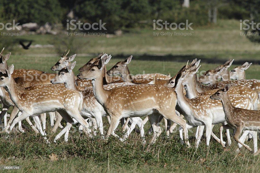 Mixed sex herd of fallow deer on the run stock photo