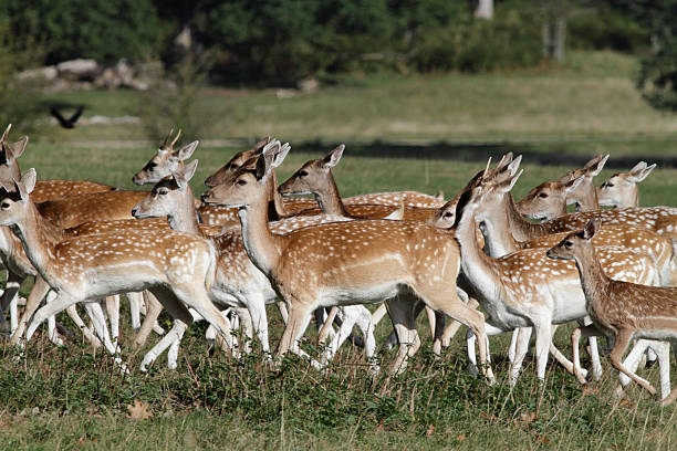 mixed sex herd of fallow deer on the run - whiteway deer stock photos and pictures