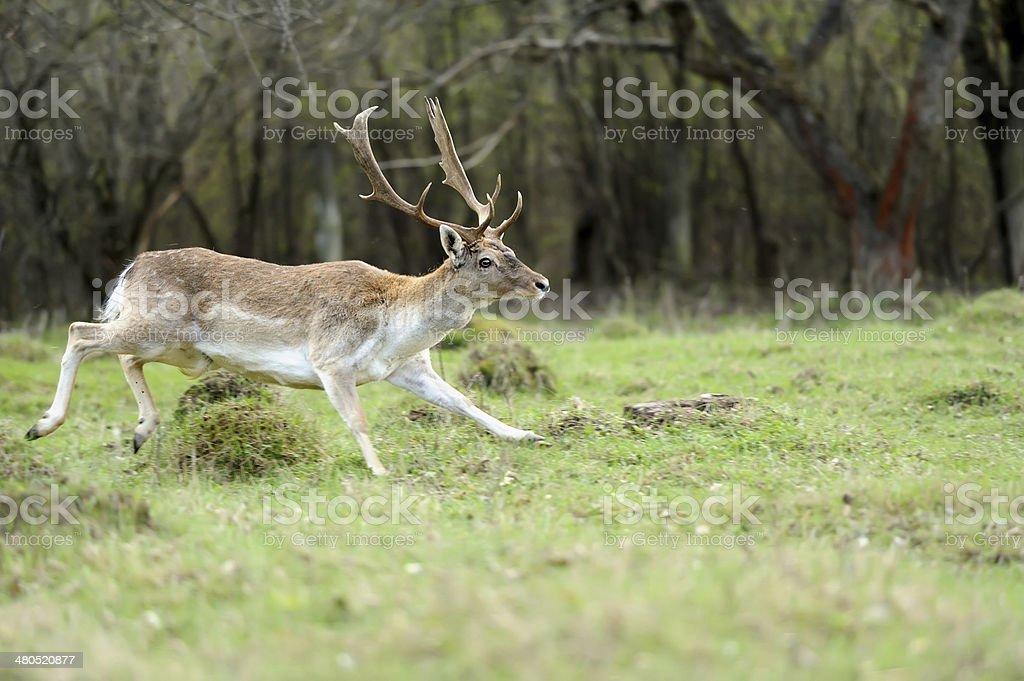 Fallow deer royalty-free stock photo