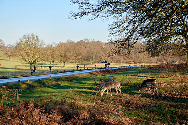 fallow deer - richmond park stock photos and pictures