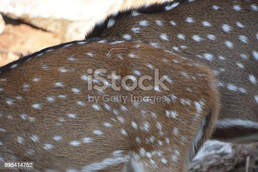 בfallow deer