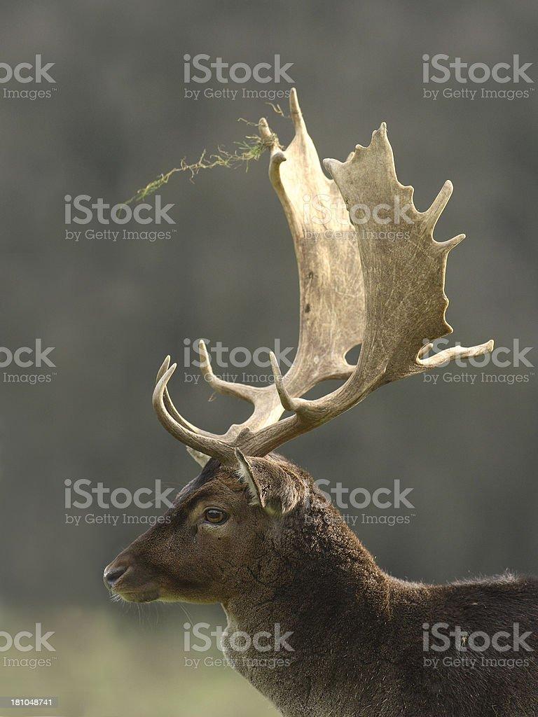 Fallow Deer Portrait stock photo