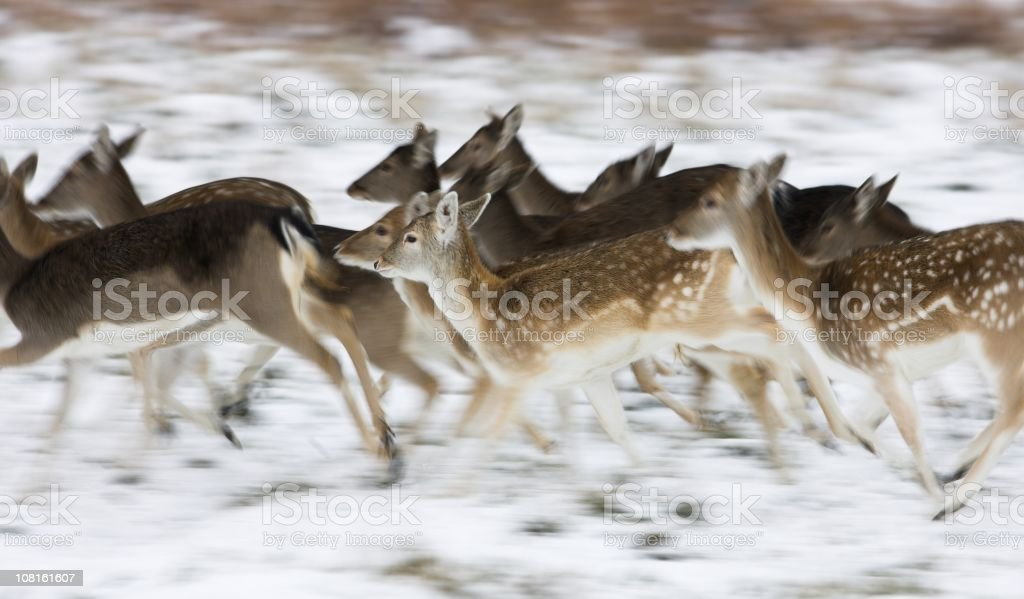 Fallow deer running in the snow stock photo
