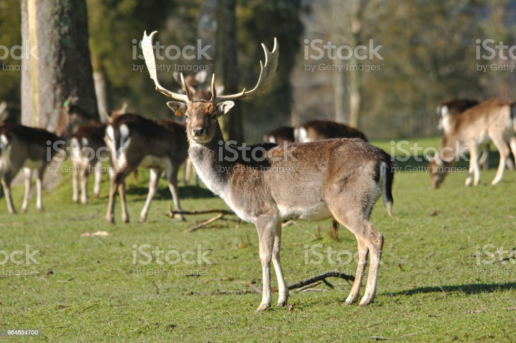 Fallow Deer Running Stock Photo & More Pictures of Agriculture