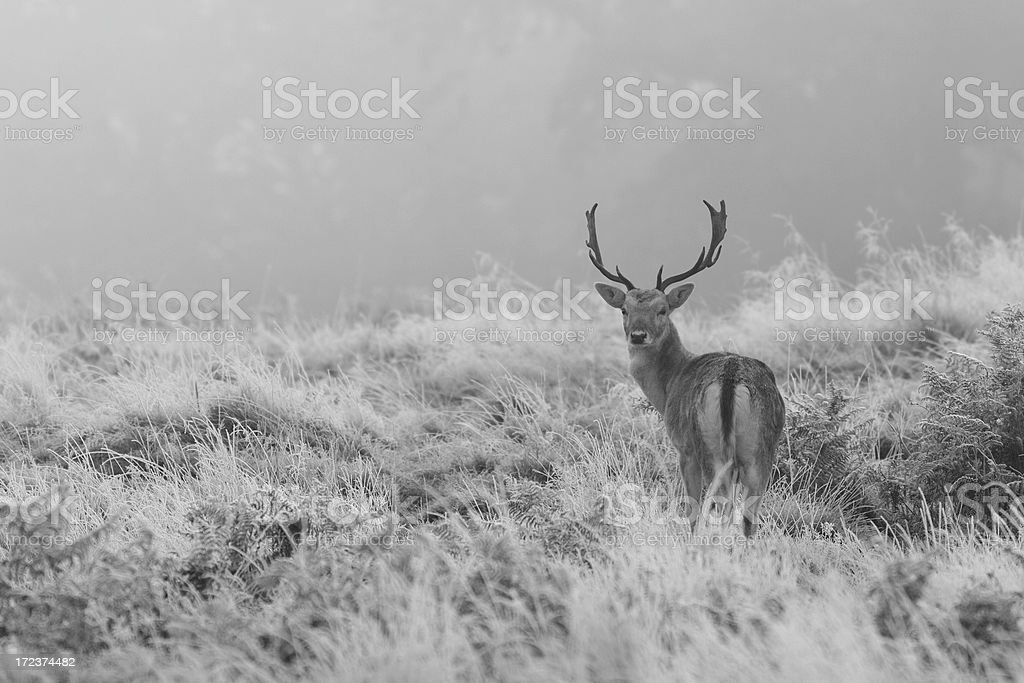 Fallow deer stag in frost stock photo