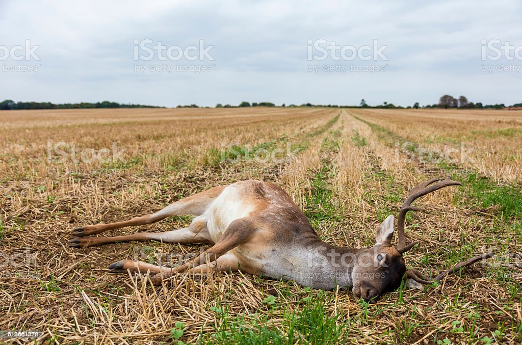 Fallow Deer Stag Laying Dead In A Field Stock Photo & More Pictures ...