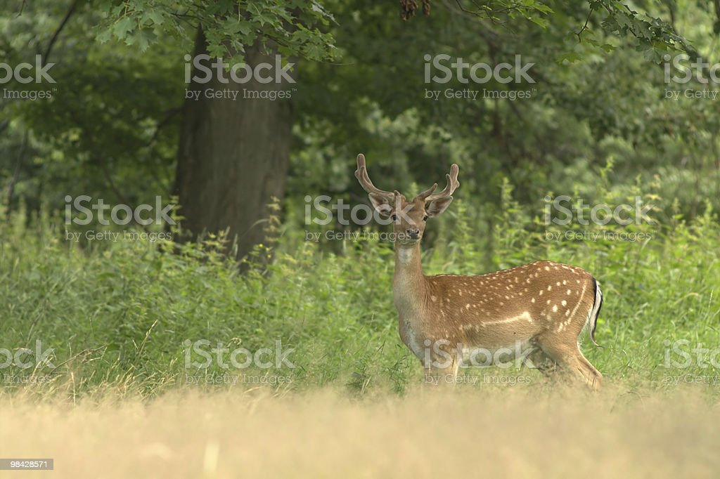 Fallow deer stag royalty-free stock photo
