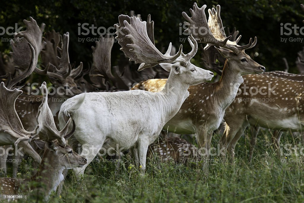 Fallow deer stags stock photo