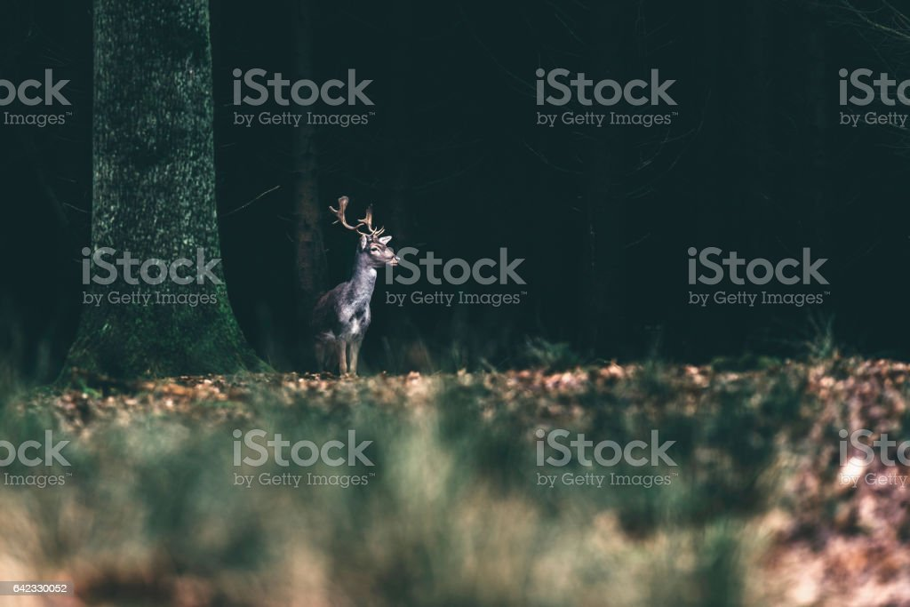 Fallow deer standing at the edge of dark forest.