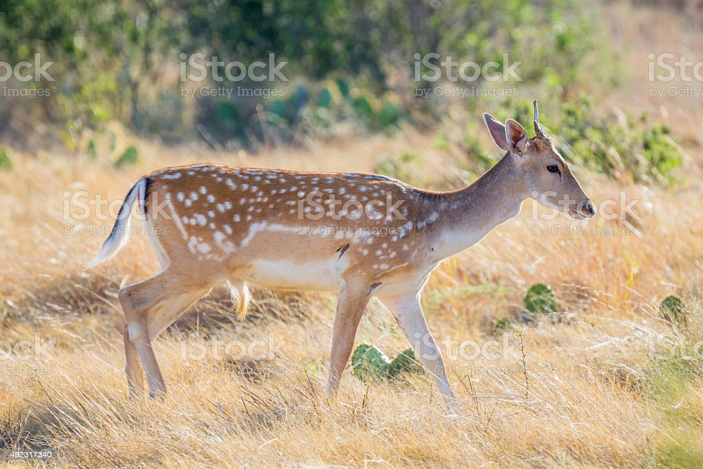 Fallow Deer Yearling Stock Photo & More Pictures of 2015 | iStock