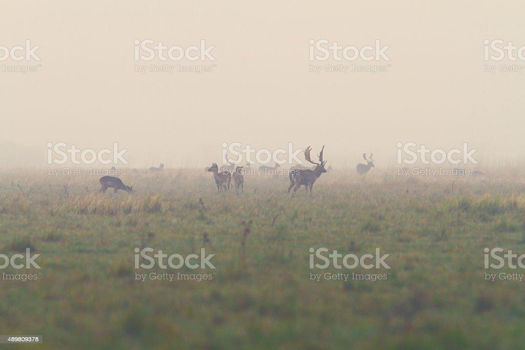 fallow deers in mating season stock photo