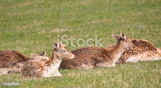 istock fallow-deer 1219208397