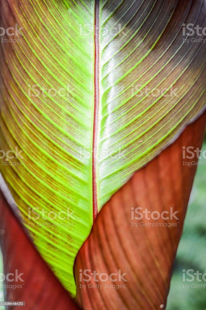 False Banana Striped Leaf stock photo
