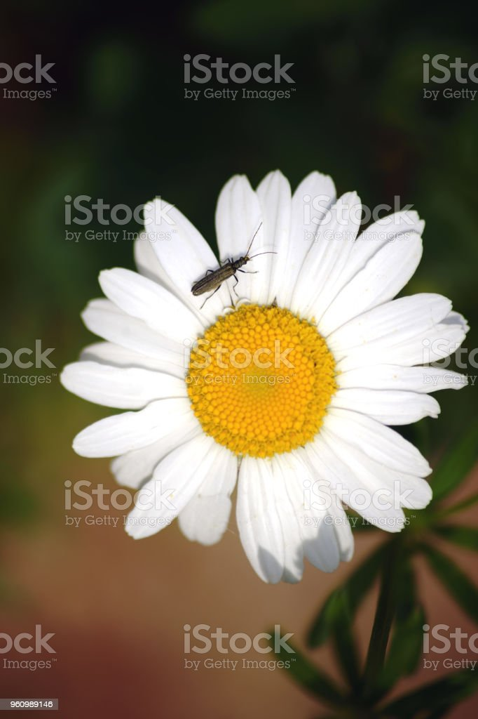 False blister beetle on daisy stock photo