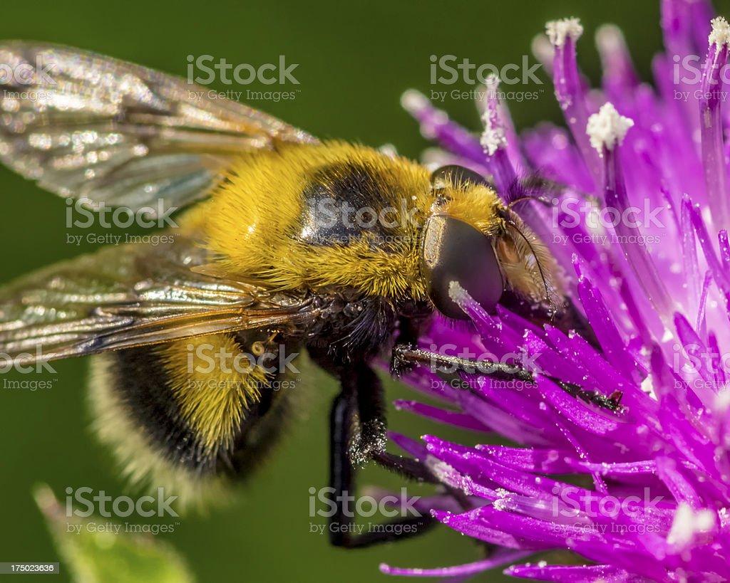 false bumble bee, volucella bombylans royalty-free stock photo