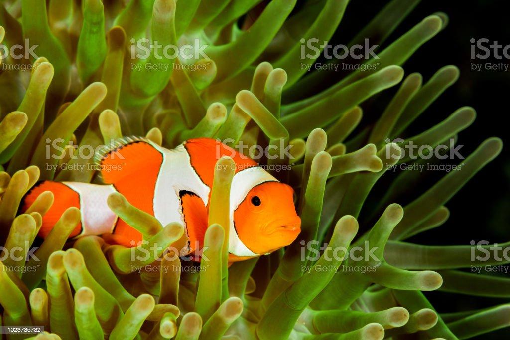 false clown anemonefish, clownfish stock photo