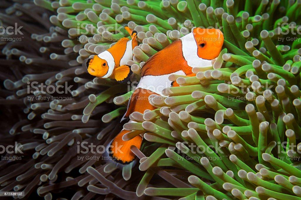 False Clown Anemonefish, orange-ringel stock photo