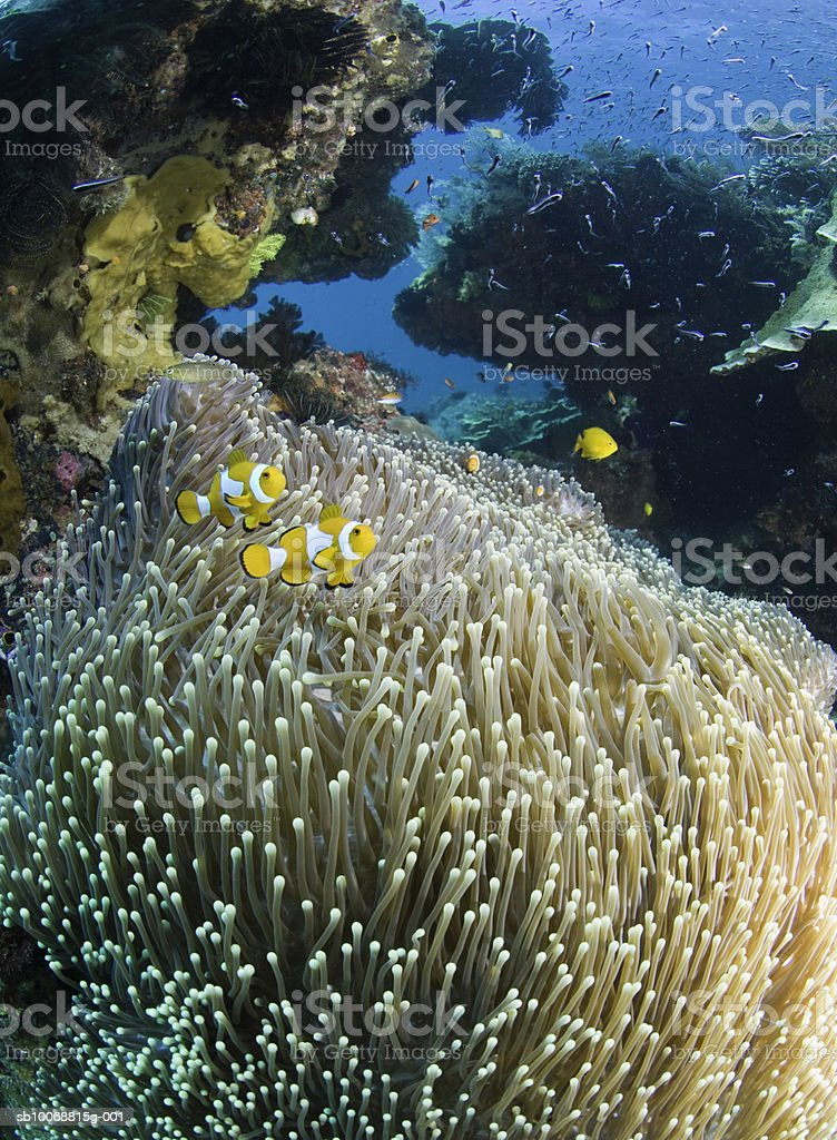 False clown fish (Amphiprion ocellaris) near sea anemone, underwater view foto de stock royalty-free
