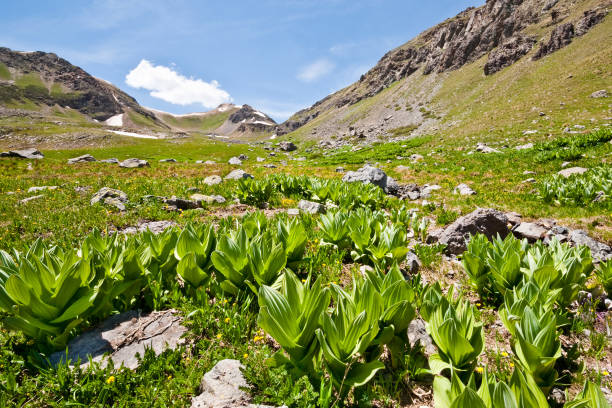 False Hellebore below Columbine Lake Pass The San Juans in southern Colorado are a high altitude range of mountains that straddle the Continental Divide. This meadow of False Hellebore was found below Columbine Lake in the San Juan National Forest near Silverton, Colorado, USA. corn lilly stock pictures, royalty-free photos & images