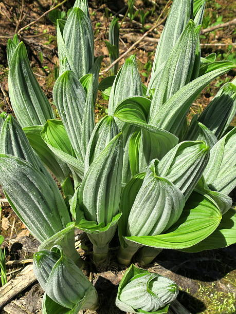 False Hellebore Sprouts - Veratrum viride False Hellebore Sprouts (Veratrum viride) in Washington State false hellebore stock pictures, royalty-free photos & images