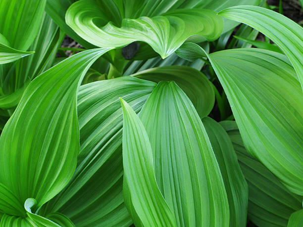 False Hellebore Veratrum viride Plant Leaf False Hellebore Alpine Veratrum viride toxic herb plant lush green foliage leaves. false hellebore stock pictures, royalty-free photos & images
