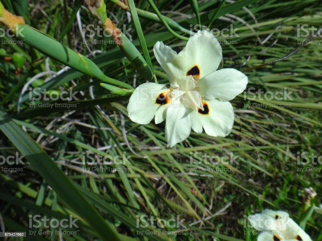 False iris flower stock photo more pictures of beauty istock false iris flower royalty free stock photo izmirmasajfo Images