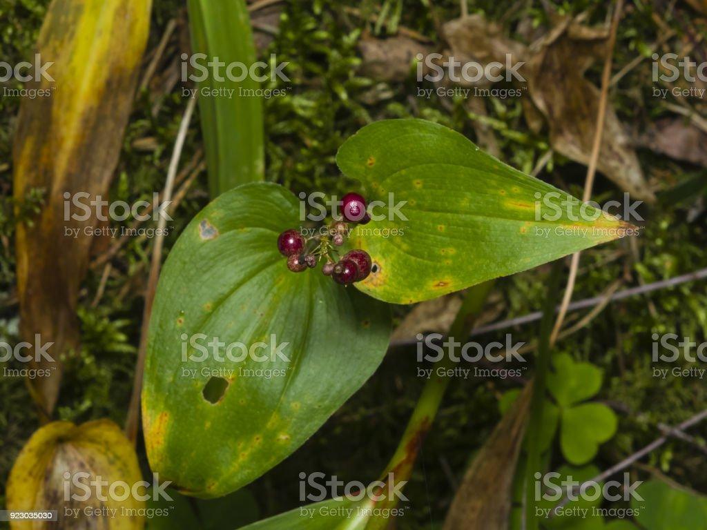 False lily of the valey, maianthemum bifolium, riping berries, close-up, selective focus, shallow DOF stock photo