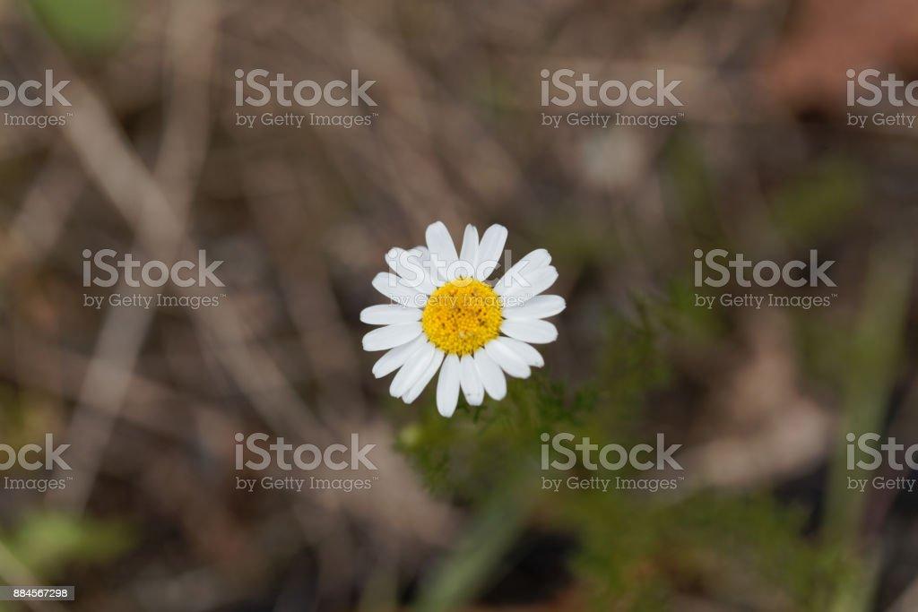 False mayweed (Tripleurospermum maritimum) stock photo